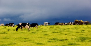 800px-Dairy_cows_on_pasture_in_Ireland