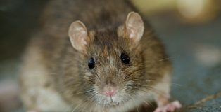 Close up of big Brown Rat standing still on concrete floor.