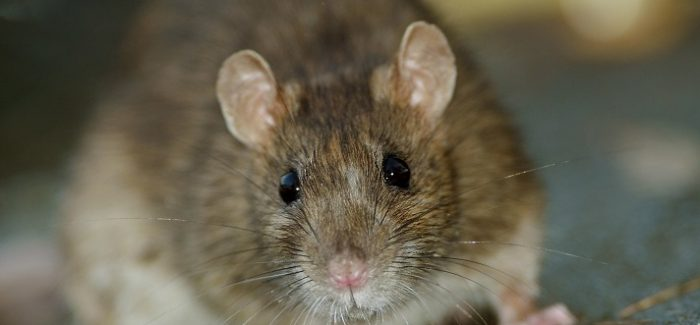 A New Solution to Dublin's Rat Problem